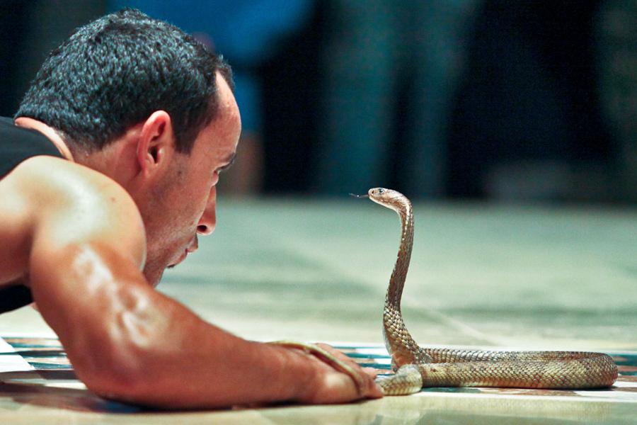 kobra-egipt